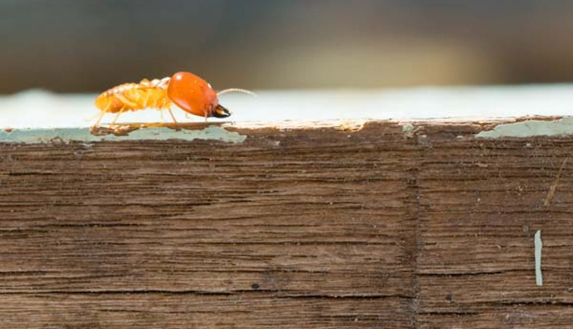 Comment éviter l'apparition de termites